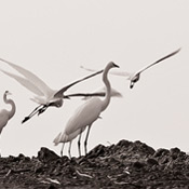 Barb Snyder - Great Egrets on the Salton Sea