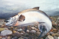 Watercolour of a Chinook Salmon