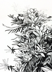 Ink on Paper, Botanical Art by Paula Barrantes