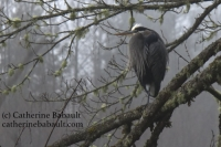 Heron on a branch, early morning on a foggy day, at Oyster River estuary, Vancouver Island, BC, Canada