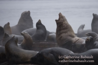 A raft of Steller and California sea lions, Vancouver Island