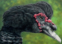 Wild Muscovy (coloured pencil drawing)