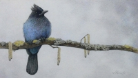 Solitary Steller's Jay (coloured pencil drawing)