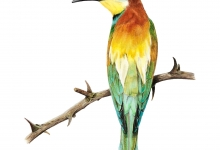 Melody Unger - European Bee Eater